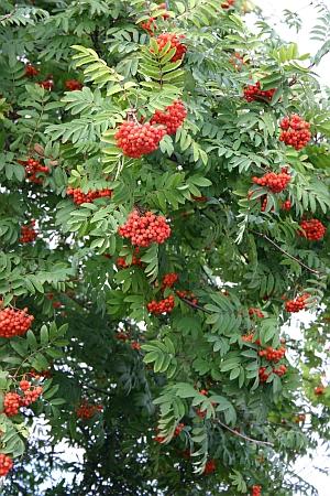 Eberesche - Vogelbeere - Sorbus aucuparia