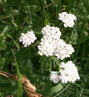Blumen bestimmen - Achillea Schafgarbe