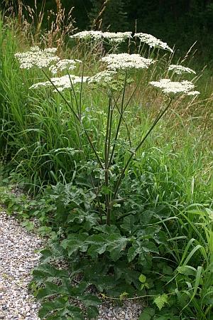 Blütenpflanzen bestimmen - Heracleum sphondylium