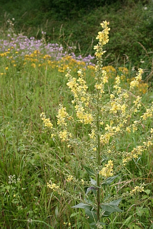 Blütenpflanzen bestimmen - Verbascum lychnitis