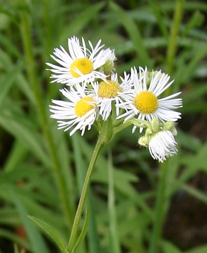 Blumen am Wegesrand - Erigeron - Feinstrahlaster