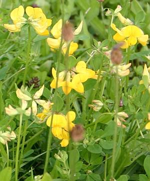 Blumen am Wegesrand - Hornklee