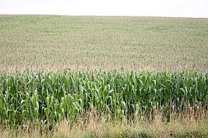 Mais ist eine Starkzehrerpflanze und wird als Nahrungsmittel, Futtermittel und Energiepflanze angebaut