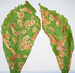 Rosskastanienblatt mit Krankheitssymptomen