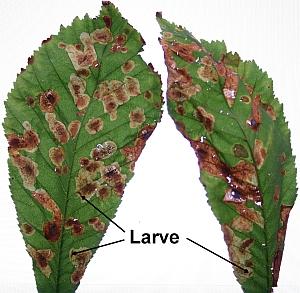 Rosskastanienblatt mit Miniermottenlarven