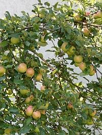 Äpfel im August am Baum