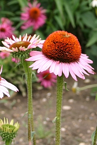 Echinacea Sonnenhut rosa