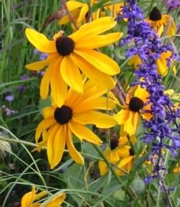 Sonnenhut Rudbeckia (gelber Sonnenhut)