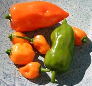 Chili 'Habanero' aus der eigenen Ernte