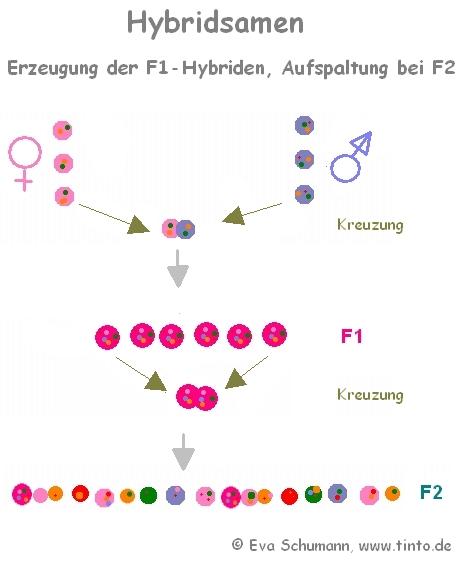 Hybridsamen - Erzeugung F1 und Aufspaltung in F2