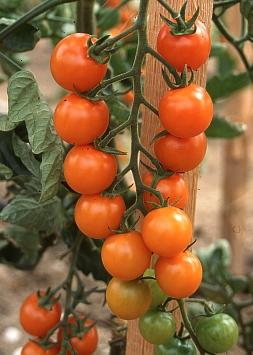 Hybridsamen-Tomaten: 'Sungold' F1