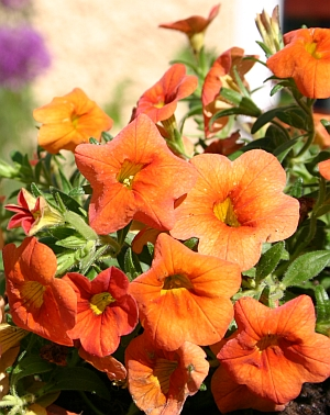 Hybridsorte Calibrachoa x Hybriden 'Orange'
