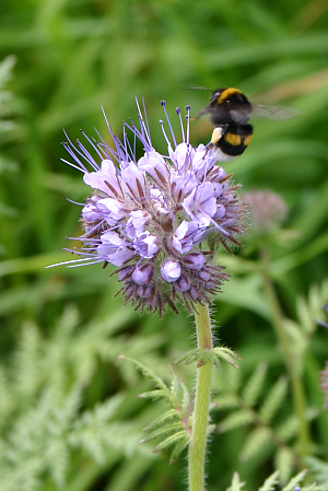 Phacelia sieht schön aus und Bienen und Hummeln laben sich an ihr.