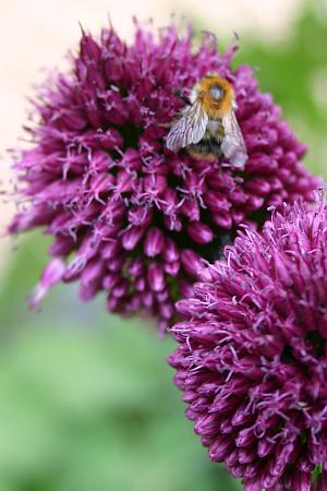 Nuetzlinge-Allium-sphaerocephalon-mit-Ackerhummel
