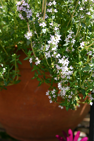 Blühender Thymian im Topfgarten