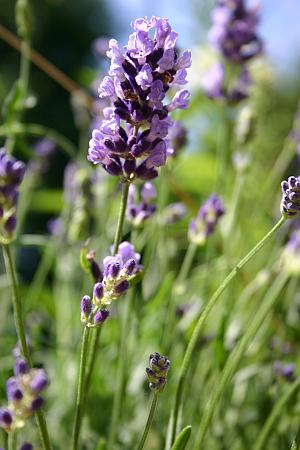 Lavendel ist ein Halbstrauch