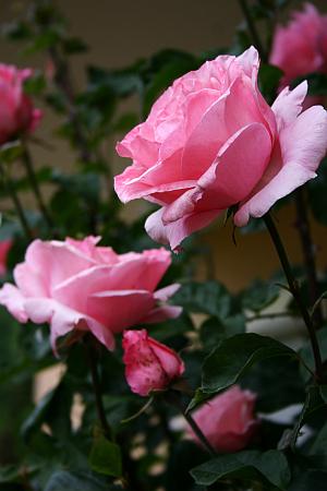 Essbare Blueten: Rosenbluetenblätter