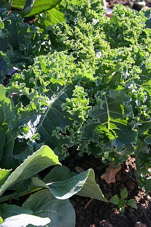 Schattenverträgliches Gemüse: Grünkohl