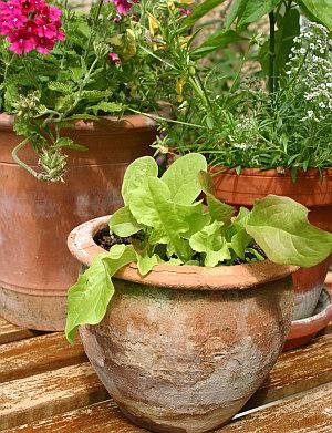 Urban Gardening - Gärtnern in der Stadt - Salat im Topf anbauen