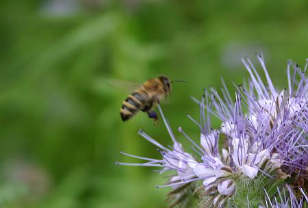 Biene an Bienenweide Phacelia