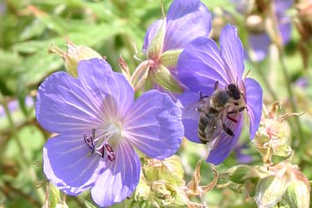 Biene an Storchenschnabel Geranium