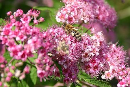 Biene an Prachtspiere Spirea