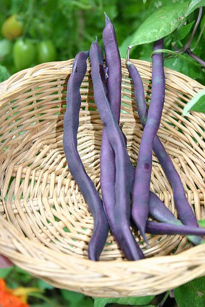 Die blaue Bohne 'Blauhilde' wuchs mit einer Tomatenpflanze und Kapuzinerkresse in einem Kübel.