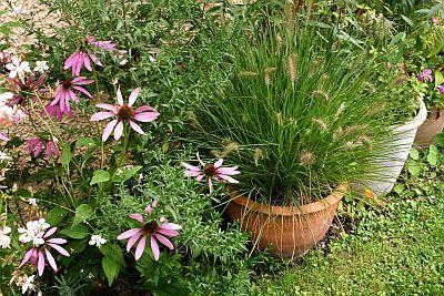 Gartenglück 2014: Blüten des Purpursonnenhuts 'Magnus' vor dem Lampenputzergras 'Hameln'