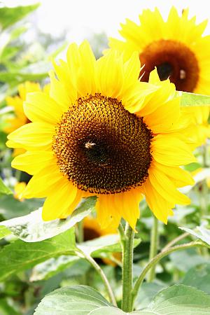 Sonnenblume - Pflanze des Jahres 2015