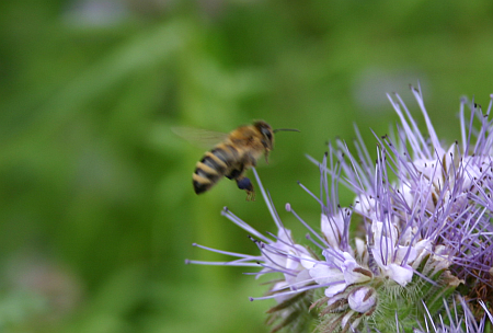 Biene im Anflug auf Bienenweide Phacelia