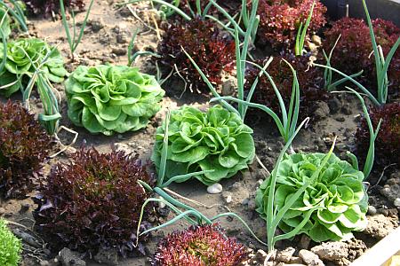 Urban Gardening Mischkultur