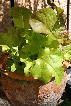 Urban Gardening: Salatanbau im Topf