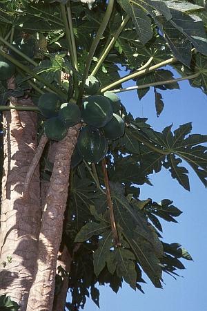Papayapflanze