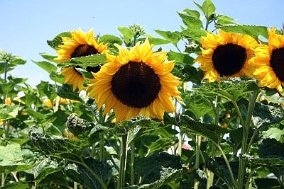 Sonnenblumen sind wichtige Öllieferanten.