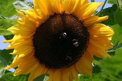Sonnenblume-mit-Hummeln