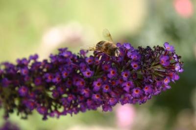 Biene an Schmetterlingsstrauch