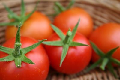 Gesunde Tomatenfrüchte ohne Blütenendfäule, ohne, Platzer und ohne Grünkragen