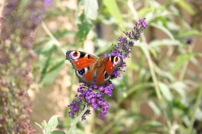 Tagpfauenauge an Schmetterlingsflieder