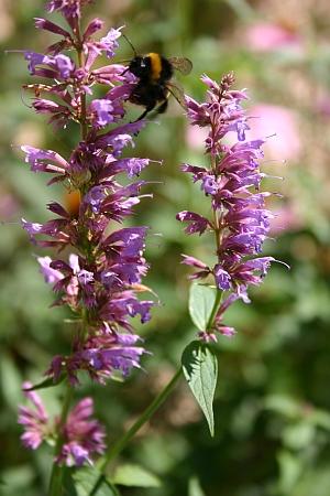 Duftnessel - Blütenstand mit Hummel
