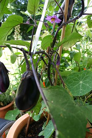 Gemüse in Kübeln auf der Terrasse: hier Auberginenpflanze