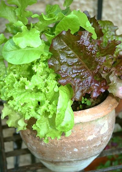 Salat im Topf angebaut