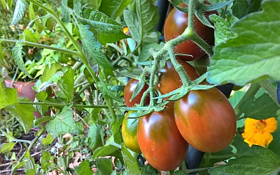 Tomate 'Black Plum' im Kübel