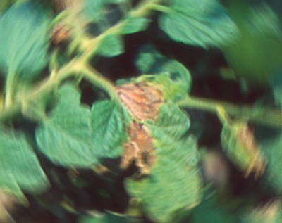 Phytophtora infestans an Tomatenblättern