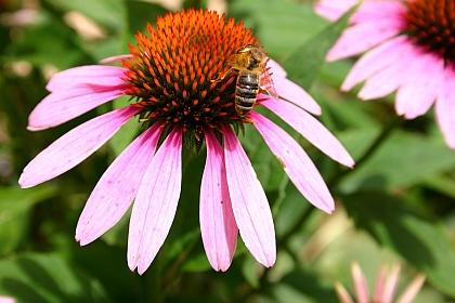 Nützlinge fördern: Der Purpursonnenhut wird von Frühsommer bis Herbst von Nützlingen als Futterquelle genutzt.