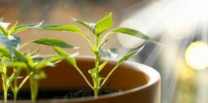 Junge Chilipflanzen