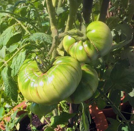 Tomate Ananastomate im Kübel