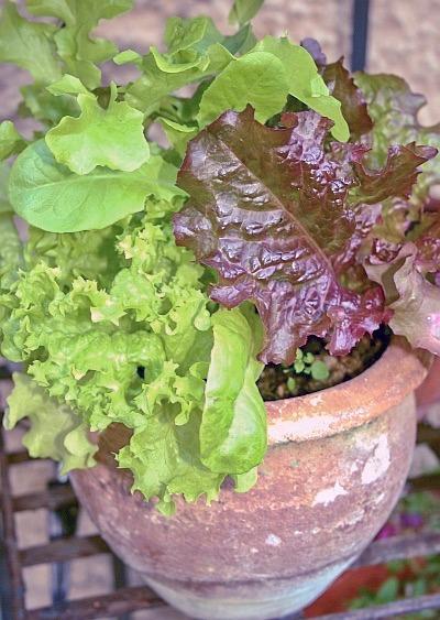 Schnittsalat im Topf angebaut