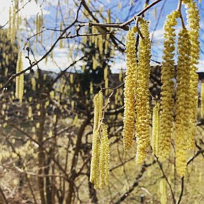 Wenn sich die männlichen Blüten der Hasel öffnen, ist die Natur an diese Standort in diesem Jahr im Vorfrühling.