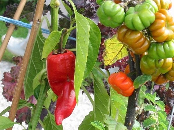 hili-/Paprika- und Tomatenanbau in den Sommermonaten geht auch im Pachtgarten, auf der Mietparzelle, im Gemeinschaftsgarten und anderswo. Sogar auf dem Balkon oder der Terrasse mit ausreichend Licht.