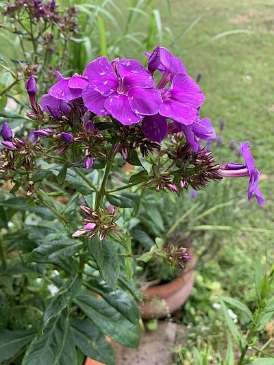 """Phlox """"Blauer Zauberphlox"""" im Terrakottakübel auf der Terrasse, nach dem zweiten Winter. Er beginnt jedes Jahr Ende Juni/Anfang Juli seine Blüten zu entfalten."""